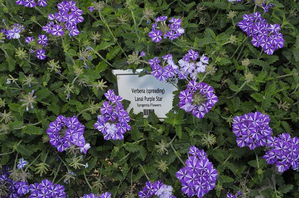 Verbena (spreading) Lanai Purple Star