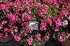 Geranium (interspecific) Caliente Rose