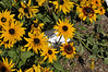 Rudbeckia Denver Daisy