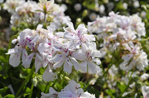 Geranium (Ivy) Dancing Idols White