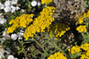 Achillea tomentosa Goldie close