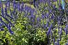 Salvia farinacea Velocity Blue