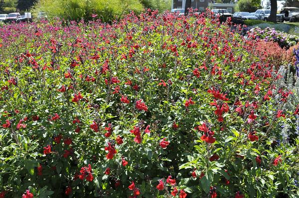 Salvia hybrida Mesa Scarlet whole