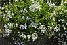 Calibrachoa Cascade White