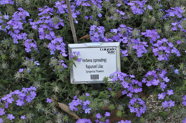 Verbena (spreading) Rapunzel Lilac