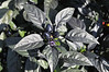 Ornamental Pepper Black Pearl leaves black peppers