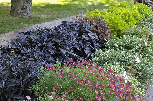 Argyranthemums and Sweet Potatoes