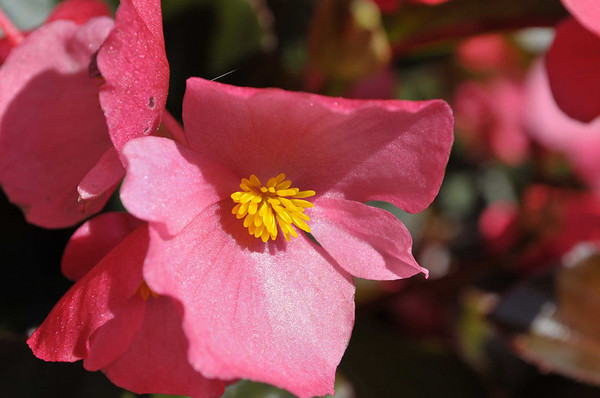 Begonia x benariensis BIG Rose Bronze Leaf close