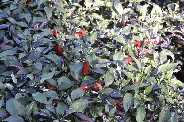 Ornamental Pepper Calico