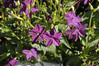 Nicotiana Perfume Deep Purple close