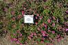 Calibrachoa Noa Mega Raspberry