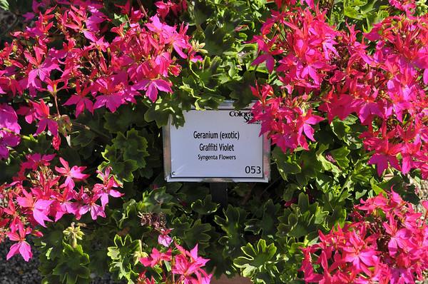 Geranium (exotic) Graffiti Violet
