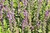 Salvia nemerosa Sallyrosa Pink spikes