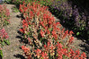Salvia splendens Fizz Strawberry
