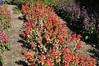 Salvia splendens Fizz Strawberry