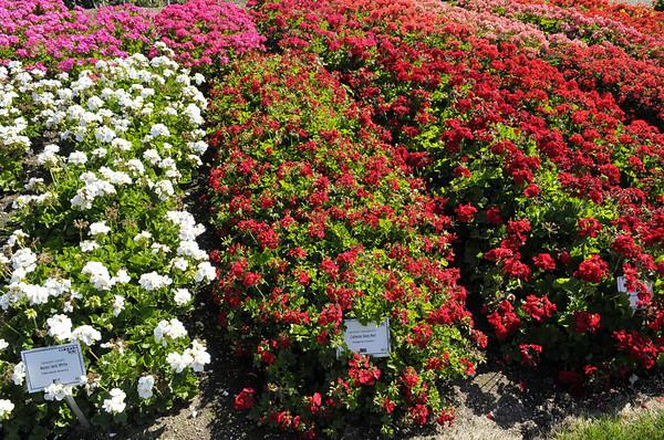 CSU flowertrials geraniums