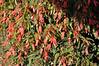 Begonia boliviensis Sparkle Salmon