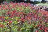 Salvia hybrida Mesa Scarlet (3)