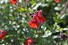 Salvia hybrida Mesa Scarlet (2)