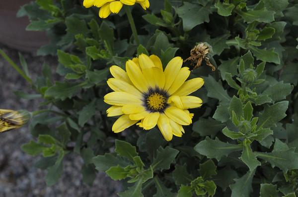 Osteospermum Astra Yellow