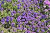 Verbena (spreading) Carpet Violet