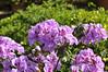 Geranium (Ivy) Colorcade Dark Lavender