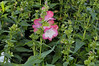 Penstemon Phoenix Pink 09 close
