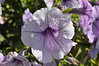 Petunia (seed spreading) Easy Wave Plum Pudding close