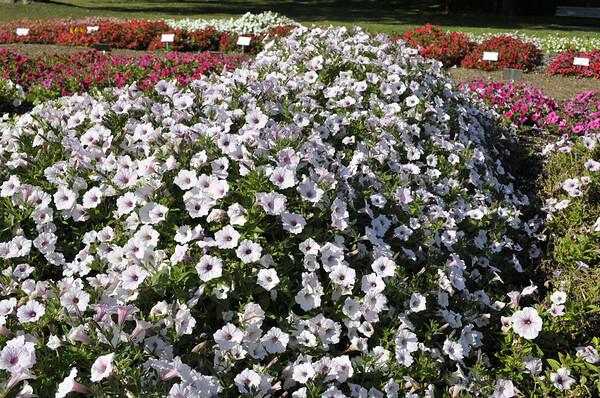Petunia (spreading) Supertunia Vista Silverberry