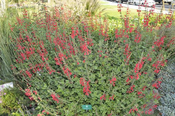 Salvia darcyi 'Pscarl (2)