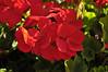 Geranium (zonal) Rocky Mountain Dark Red close