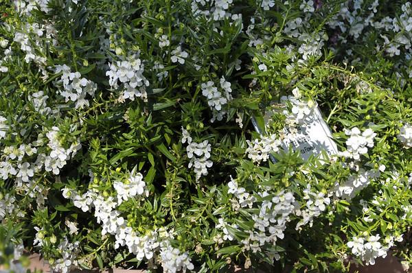 Angeloania Carita White 09