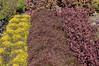 Alternathera, True Yellow, Red Thread, Brazillian Red Hot