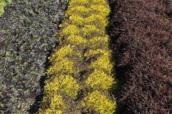 Ajuga Black Scalop , Alternathera True Yellow and Red Thread
