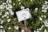 Plhlox Phoenix White