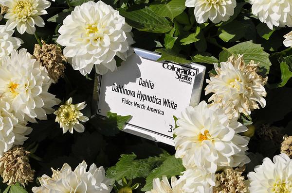 Dahlia Dahlinova Hypnotica White