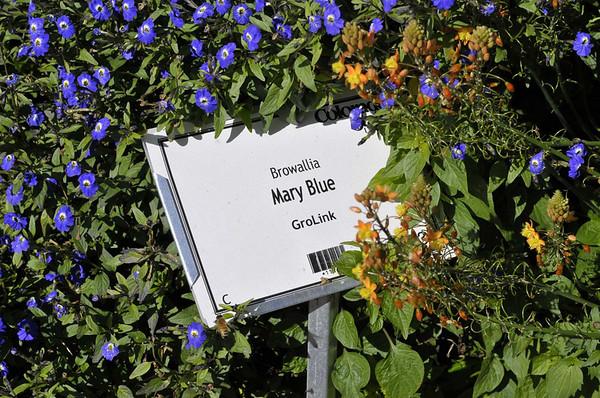 Browallia Mary Blue