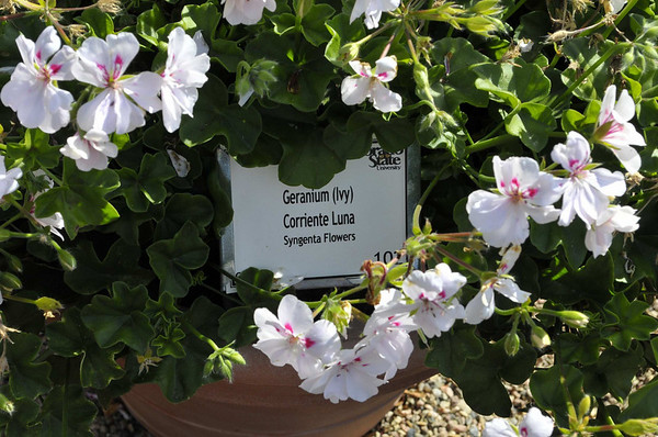 Geranium (Ivy) Corriente Luna
