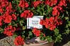 Geranium (zonal) Elanos Bright Red
