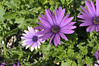 Osteospermum Passion Mix close