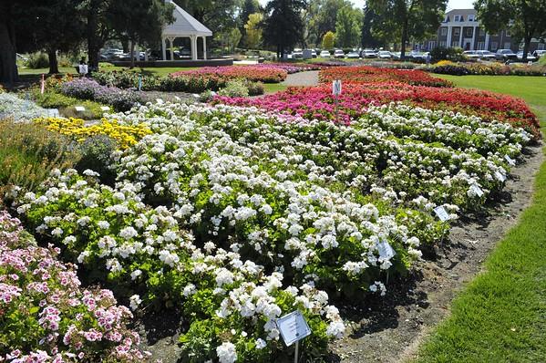 CSU flowertrials geranium bed
