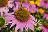 Echinacea Deep Rose close