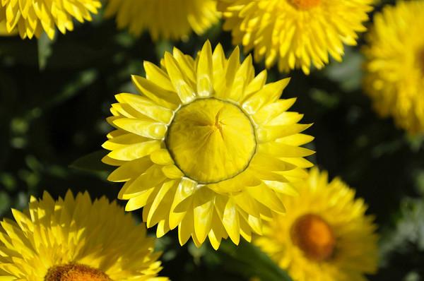 Bracteantha Strawburst Yellow opening flower