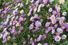 Argyranthemum Angelic Pink Tempo