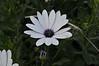 Osteospermum Tradewinds White