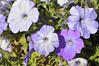 Petunia (spreading Glow Lavender Shades