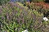 Salvia nemerosa Sallyrosa Pink