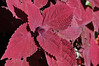 Coleus Red Head close