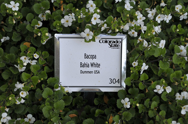 Bacopa Bahia White close