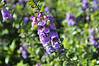 Angelonia AngelMist Purple close